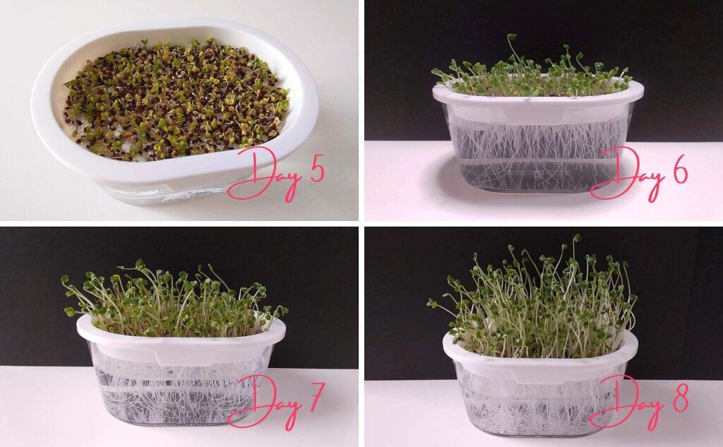 おうちでベジで育てたブロックリースプラウトの成長過程(5~8日目)